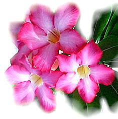 Blossom essence of passion